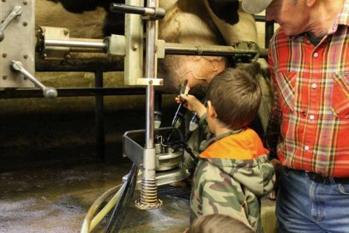 Milking cows.