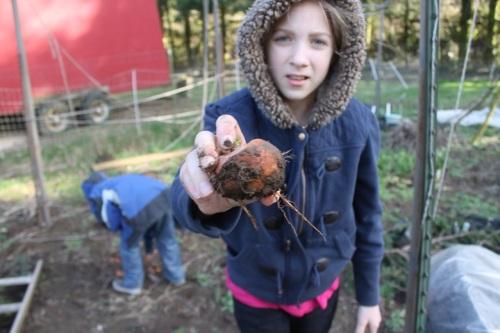unearthing garden veg