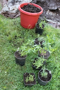 newly painted pot for Flynn's patio tomato, and herbs happy to spread their roots!